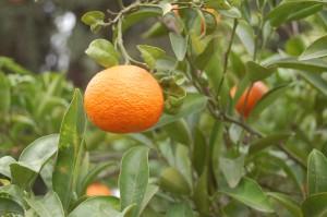 da gedeihen die Orangen...